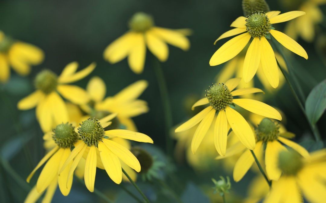 Is Arnica Good for Relieving Pain, Inflammation & Arthritis?